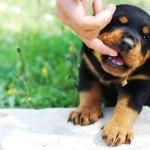 Stop Rottweiler Puppy Biting